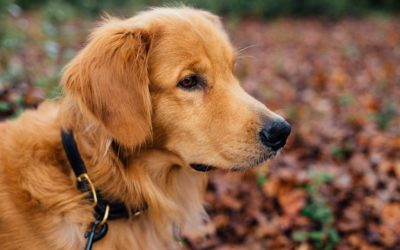 The Golden Ticket: Golden Paste for your Dog